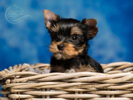 Foto 5 Bezaubernde Yorkshire Terrier Welpen aus seri�ser Hobbyzucht