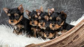 Foto 6 Bezaubernde Yorkshire Terrier Welpen aus seri�ser Hobbyzucht