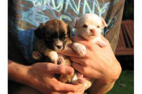 Bezaubernde typvolle Chihuahua Welpen in Lh & Kh