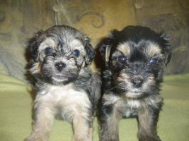 Foto 2 Bichon Havaneser Puppies