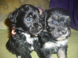 Foto 3 Bichon Havaneser Puppies
