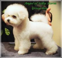 Foto 2 Bichon frise puppies