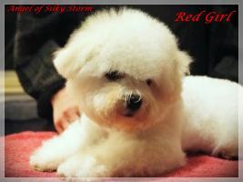 Foto 6 Bichon frise puppies