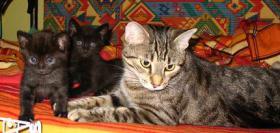 Bidlhübsche Kitten original egypt mau