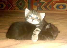 Foto 3 Bidlh�bsche Kitten original egypt mau