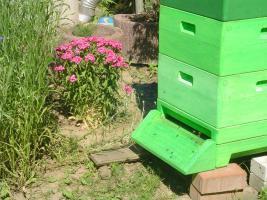 Bienenv�lker zu verkaufen.