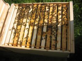Bienenvolk - Ableger aus 2011 - Bienen
