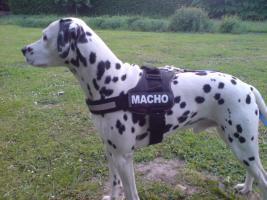Foto 3 Biete Kräftigen gesunden Dalmatiner Rüden, zur Deckung ihrer Hündin (Kein Verkauf)