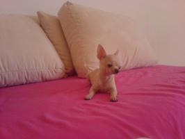 Biete Mini Chihuahua zum decken!