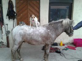 Foto 2 Biete Partbred Shetland Ponyhengst