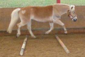 Foto 2 Biete Reitbeteiligung an 7 jährigem Haflinger