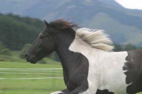 Biete Reitbeteiligung auf liebem Islandpferd
