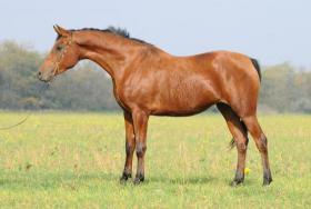 Foto 2 Biete Schöne Pferde aus Russischer Zucht !!!