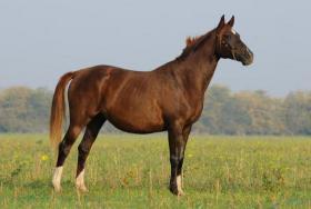 Foto 3 Biete Schöne Pferde aus Russischer Zucht !!!