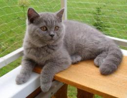 Biete: Süße BKH Kitten