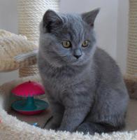 Foto 2 Biete: Süße BKH Kitten