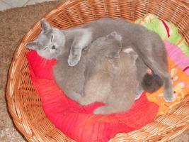 Foto 2 Biete süße reinrassige BKH Katzenbabys