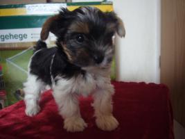 Foto 2 Biewer Yorkshire Terrier
