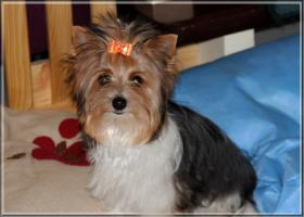 Biewer Yorkshire Terrier Hündin