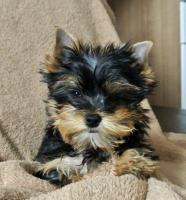 Biewer Yorkshire Terrier H�ndin Sunny (Spalter)