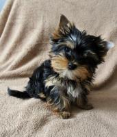 Foto 2 Biewer Yorkshire Terrier H�ndin Sunny (Spalter)