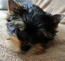 Foto 3 Biewer Yorkshire Terrier H�ndin Sunny (Spalter)