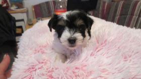 Foto 2 Biewer Yorkshire Terrier Welpe