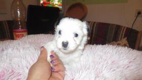 Foto 3 Biewer Yorkshire Terrier Welpe