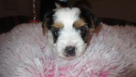 Foto 4 Biewer Yorkshire Terrier Welpe