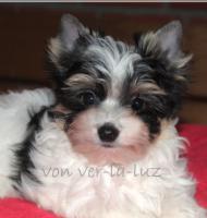 Biewer Yorkshire Terrier Welpe-Bub