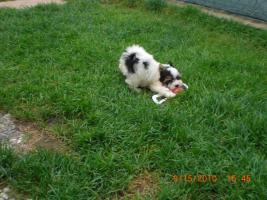 Foto 2 Biewer-Yorkshire Terrier Welpen