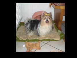 Foto 3 Biewer-Yorkshire Terrier Welpen