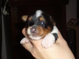 Foto 2 Biewer Yorkshire Terrier Welpen