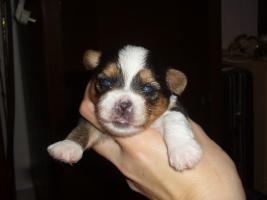 Foto 3 Biewer Yorkshire Terrier Welpen