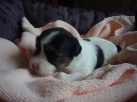 Foto 4 Biewer Yorkshire Terrier Welpen