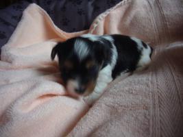 Foto 5 Biewer Yorkshire Terrier Welpen