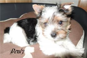 Biewer Yorkshire Terrier Welpen 1 Mädchen, 1 Rüde