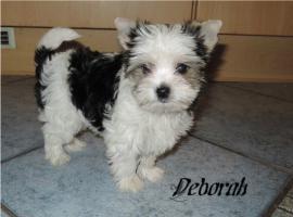 Foto 4 Biewer Yorkshire Terrier Welpen 1 Mädchen, 1 Rüde