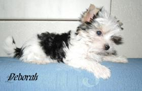 Foto 5 Biewer Yorkshire Terrier Welpen 1 Mädchen, 1 Rüde