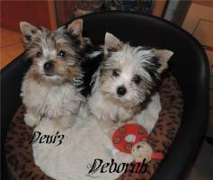 Foto 7 Biewer Yorkshire Terrier Welpen 1 Mädchen, 1 Rüde