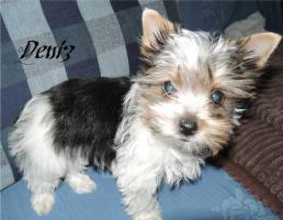 Foto 8 Biewer Yorkshire Terrier Welpen 1 Mädchen, 1 Rüde