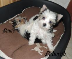 Foto 9 Biewer Yorkshire Terrier Welpen 1 Mädchen, 1 Rüde