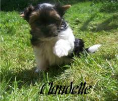 Foto 2 Biewer Yorkshire Terrier Welpen 3 Mädchen, 1 Rüde