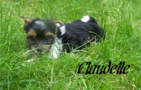 Foto 6 Biewer Yorkshire Terrier Welpen 3 Mädchen, 1 Rüde
