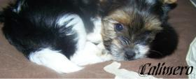 Foto 7 Biewer Yorkshire Terrier Welpen 3 Mädchen, 1 Rüde
