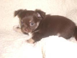 Foto 2 Biewer yorki und Chihuahua