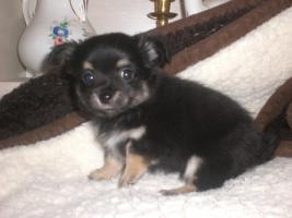Foto 3 Biewer yorki und Chihuahua