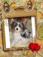 Biewer yorkshire Terrier Rüde