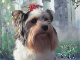 Bieweryorkshire-Terrier Deckrüde