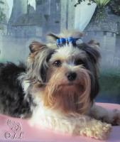 Foto 2 Bieweryorkshire-Terrier Deckrüde